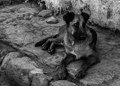 EL LEÓN DE ATACAMA (César González Álvarez - Fotografía) Tags: san pedro de atacama chile street dog animal