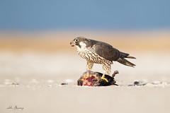 Peregrine Falcon (johnbacaring) Tags: canonphotography pefa peregrine falcon wildlife nature raptor birdsofprey