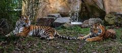 Kälte (Anja Anlauf) Tags: tiger weiblich sibirisch bedroht kalt familie mutter tochter tier natur wasser wasserfall entspannt säugetier groskatze raubtier