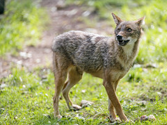 Last picture of the golden jackal (Tambako the Jaguar) Tags: jackal canid canine dog golden standing posing cute sunny grass munich münchen hellabrunn zoo germany nikon d5