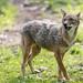 Last picture of the golden jackal