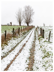 White trail (P_Hibon) Tags: belgië gooik bomen knotwilgen landschap pajottenland sneeuw oetingen weg sporen landweg weide grijs paaltjes belgium landscape snow trail white wit road dirtroad fence outdoor buiten akker field willow tree gras grass omheining modder winter