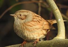 Dunnock (blue33hibiscus) Tags: bird dunnock tree branch langfordlakes naturereserve wiltshire