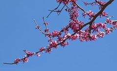 IMG_0008 Opening Day (oldimageshoppe) Tags: blossoms redbud tree sunshine blueskies latewinter
