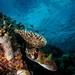 porcupine fish and corals, conchita, wakatobi, 2018