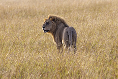 Big Cats on the Mara (johnrobjones) Tags: beyond animal animals cnp cnpsafaris kenya kichwatemba mara masai masaimara safari africa mammals nature wildlife lion male