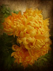old style (fotomie2009) Tags: textured ipiccy chrysanthemum chrysanths mums crisantemo flora flower fiore yellow