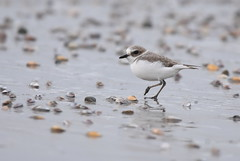 Snowy Plover (Christopher Lindsey) Tags: birds birding snowyplover california tijuanariver sandiegocounty