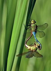 Dragonfly ♀♂ - Libellule ♀♂ (D72_9409-1PE-20180816) (Michel Sansfacon) Tags: dragonfly libellule nikond7200 sigma150600mmsports parcnationaldesîlesdeboucherville parcsquébec faune
