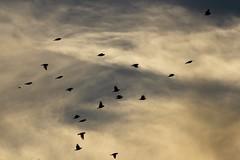 Bird Silhouette (katyearley) Tags: t6 rebel canon canonrebelt6 contrast black orange clouds sunset sky silhouette shadow animal bird