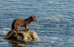 """Mink checking out the prospects for lunch. (Alert Bay) (island deborah- New Book """"Song of the Sparrow"""" vig) Tags: alertbay britishcolumbia canada mink salish sea wildlife"""