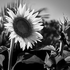 🌻 sunflower (diannerobbins1) Tags: 50mm18 niftyfifty macrophotography blackandwhite blackandwhitephotography 7200 nikon sunflower