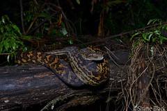 Scrub Python (Simalia kinghorni) (shaneblackfnq) Tags: scrub python simalia kinghorni shaneblack snake reptile mt mount lewis julatten rainforest fnq far north queensland australia tropics tropical eye