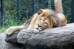 Just Can't Wait to be King (and sleep) (boom_goes_the_canon) Tags: zoo iowa nature animal lion male mane feline nap exhibit mammal blankparkzoo desmoines africanlion bigcat
