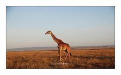 Girafe Narok (Claire PARMEGGIANI Photos) Tags: africa africangallery africanlife africanwildlife eastafrica gamedrive kenya giraffe safari masaimara wildlife wildafrica