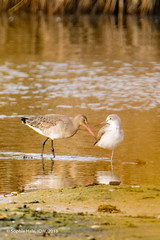 Black Tailed Godwit and Greenshank Face Off (SLHPhotography1990) Tags: 2018 hersey nature november reserve black tail tailed godwit wader wade wading water wild wildlife life reflections greenshank shank face off stand