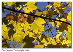 Yellow and Blue (Paul Simpson Photography) Tags: autumn fall tree leaves leaf bluesky photosofautumn fallphotos imagesof photosof imageof yellowleaves sonya77 paulsimpsonphotography nature naturalworld england autumncolours fallcolors