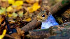 Old Moor Wetland - Squirrel (MrGrumpy67) Tags: nature wildlife animals squirrel autumn woodland