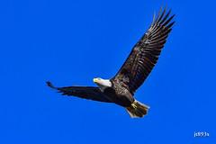 Bald Eagle (jt893x) Tags: 150600mm americanbaldeagle baldeagle bif bird d500 eagle haliaeetusleucocephalus jt893x nikon nikond500 raptor sigma sigma150600mmf563dgoshsms thesunshinegroup