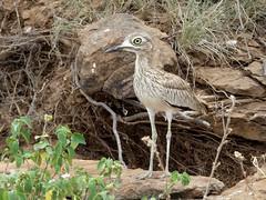 Water thick-knee - Burhinus vermiculatus (Linda DV) Tags: lindadevolder africa 2018 lumix travel geotagged nature kenya fauna baringo lake