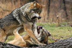 And the winner is.... (Bill G Moore) Tags: wolf wolves animal fight canine lobo wildlife nature naturephotography alphamale