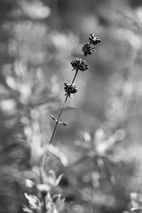 Grown Too Tall (belleshaw) Tags: blackandwhite ranchosantaanabotanicgarden nature seeds tower bloom dried winter leaning leaves plant garden detail abstract bokeh