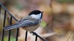Black-capped Chickadee (mausgabe) Tags: olympus em1 olympusm40150mmf28 olympusmc14 nyc centralpark theramble bird chickadee blackcappedchickadee
