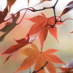 Acer palmatum 'Versicolor' 6 thumbnail