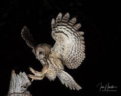 Tawny owl (Ian howells wildlife photography) Tags: tawnyowl tawny owl ianhowells ianhowellswildlifephotography inflight nature naturephotography nationalgeographic night flash canonuk wildlife wildlifephotography wales wildbird wild