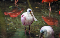 Roseate Spoonbill (Paula Darwinkel) Tags: roseatespoonbill spoonbill bird animal wildlife nature river water ibis color