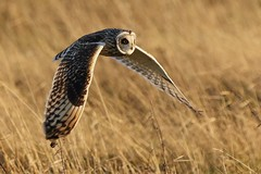 Short Eared Owl (merseymouse) Tags: shortearedowl owlshunting owls birds nature