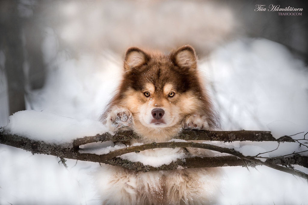 The World's Best Photos of dog and lapphund - Flickr Hive Mind