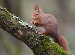 Ecureil roux (guiguid45) Tags: nature sauvage animaux mammifères forêt loiret bois d810 500mmf4 nikon écureuilroux squirrel écureuil eurasianredsquirrel affût