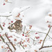 ''La solitaire!'' Grive solitaire-Hermit trush (pascaleforest) Tags: oiseau bird animal passion nikon nature wild wildlife faune québec canada neige snow