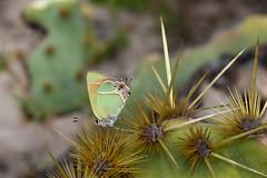 Lifer! Xami Hairstreak (Callophrys xami), Boca Chica Road, Cameron County, Texas (kmalone98) Tags: butterflies gossamerwings hairstreaks xamihairstreakintexas callophrysxami