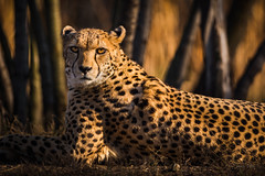 Cheetah (Soren Wolf) Tags: close cheetah cheetahs big cat nikon d7200 animal animals 300mm portrait zoo opole warm sunset tree short depth field dof