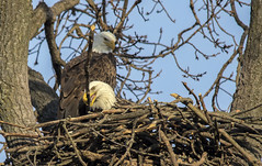 Working on the nest.... (Kevin Povenz Thanks for all the views and comments) Tags: 2018 november kevinpovenz westmichigan michigan ottawa ottawacounty ottawacountyparks grandravinesnorth tree nest eagle baldeagle bird birdsofprey nature wildlife outdoors outside canon7dmarkii sigma150500 working building stick branch