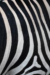 Grant's Zebra (mellting) Tags: djurparker eskilstuna nikond500 parkenzoo platser sigma1506005063sport bloggad flickr instagram matsellting mellting nikon sverige sweden grantszebra zebra equusquaggaboehmi monochrome bnw blackandwhite