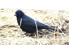 Dec13,2018 DSC01572 Brewer's Blackbird (terrygray) Tags: blackbirds cowbird