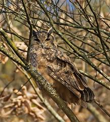 Eurasian Eagle Owl 1 (mishko2007) Tags: eurasianeagleowl bubobubo korea 200500mmf56