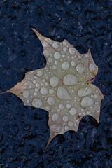 Drops (Bloui) Tags: 2018 eos7d autumn fall montroyal october parcdumontroyal montréal québec leaf mapple raindrops water drops