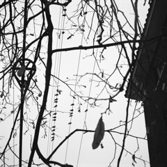 untitled (kaumpphoto) Tags: rolleiflex 120 tlr ilford bw black white wire line roof bird pigeon tree branch electricity leaf seeds silhouette sky perch fly wings