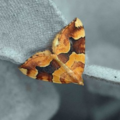 Barred Yellow ... Cidaria fulvata 2 (AndyorDij) Tags: barredyellow cidariafulvata andrewdejardin moth insect england empingham uk unitedkingdom rutland 2018 lepidoptera nationalmothweek empinghammoths