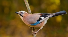 ghiandaia (taronik) Tags: animali cacciafotografica natura uccelli posatoio ghiandaia