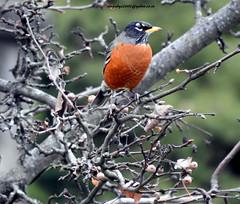 DSCN6555 American Robin (Turdus migratorius) (vlupadya) Tags: greatnature animal bird fauna aves american robin turdis baslingridge nwjesey usa