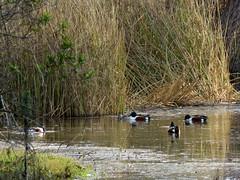 Duck...duck...duck... (Kelson) Tags: pond birds marsh reeds california madronamarsh torrance hike nature southbay