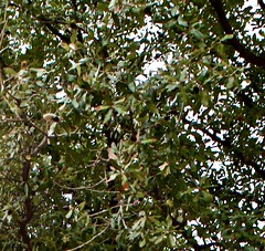 Interesting Tree In Tucson With Acorns (Chic Bee) Tags: acorn id treeidentification tucson arizona southwesternusa americansouthwest northamerica tree unidentified acorns usa quercusvirginiana southernliveoak evergreen
