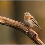 Brambling (female) - Keep (vrouw) (Fringilla montifringilla) ... thumbnail