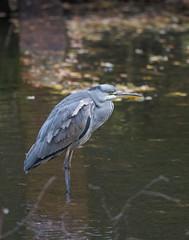 Grey Heron Stockgrove CP-7915 (seandarcy2) Tags: birds wildlife beds uk stockrove cp handheld heron grey