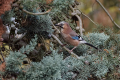 a Serious Jay (Franck Zumella) Tags: jay geai bird oiseau blue bleu tree arbre nature wildlife animal forest foret autumun fall automne branch branche